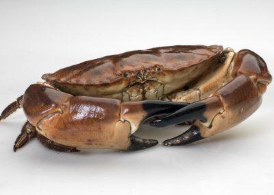 Πετροκάβουρες / Brown crabs / Cancer pagurus
