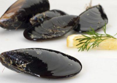 Μύδια / Mussels / Mytilus galloprovincialis